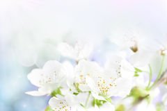 Cherry flowers background Royalty Free Stock Photos