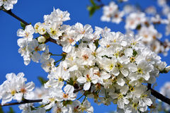 White spring flowers on a tree branch Royalty Free Stock Photography