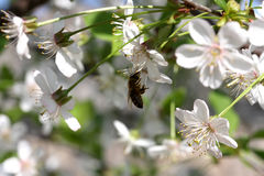 Cherry flowers with bee Stock Images