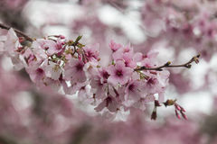 Cherry flowers in bloom Royalty Free Stock Photos
