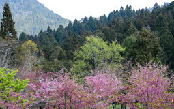 Cherry flowers blooming in Alishan mountain, Taiwan Royalty Free Stock Images