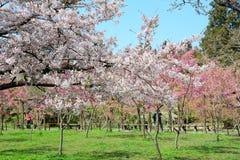 Cherry flowers blooming in Alishan mountain, Taiwan Stock Photos