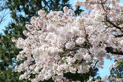 Cherry flowers blooming in Alishan mountain, Taiwan Royalty Free Stock Photo