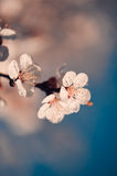Cherry flowers. Cherry blooming close up, selective focus Stock Image