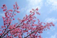 Cherry flowers blooming in Kyoto park, Japan Stock Image