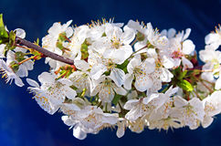 Cherry flowers blooming over blue fence Stock Images