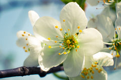 Cherry flowers blooming. Cherry flowers spring blooming in the garden Royalty Free Stock Images