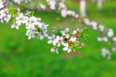 Cherry flowers blooming Stock Images