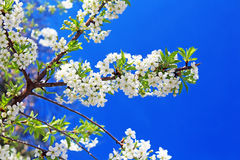 Cherry flowers blooming Royalty Free Stock Photography