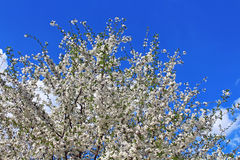 Cherry flowers blooming Stock Photography