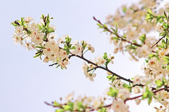 Cherry flowers blooming in springtime Royalty Free Stock Photo