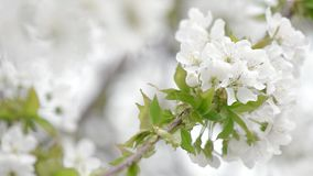 Cherry flowers stock video footage