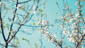 Cherry flowers blooming in springtime swining in the wind. stock video footage