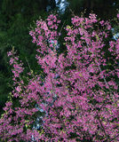 Cherry flowers blooming at Yangmingshan Park in Taiwan Royalty Free Stock Photo