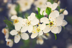 Cherry flowers in blossom. A bunch of white cherry flowers Stock Photos