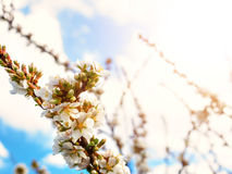 Cherry flowers blossom oriental white against background blue sky with sunshine beams macro shot. Cherry flowers blossom oriental white against background blue stock images
