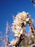 Cherry flowers blossom oriental white against  background  blue sky with sunshine beams  macro shot. Royalty Free Stock Images