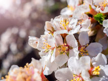 Cherry flowers blossom oriental white against  background  blue sky with sunshine beams  macro shot. Royalty Free Stock Photography