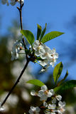 Cherry flowers. Royalty Free Stock Images