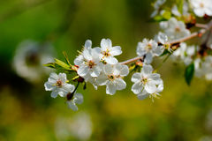 Cherry flowers. Royalty Free Stock Image