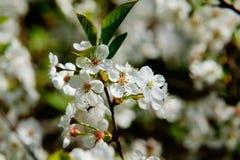 Cherry flowers. Royalty Free Stock Photos