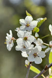 Cherry flowers. Stock Image