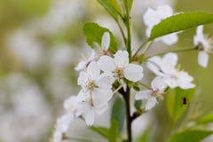 Cherry flowers. Stock Photography
