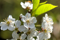 Cherry flowers. Stock Images