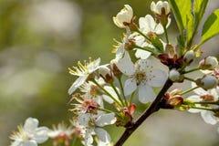 Cherry flowers. Stock Photos