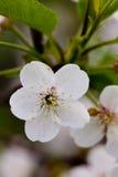 Cherry flowers. Royalty Free Stock Photo
