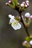 Cherry flowers. Royalty Free Stock Photos