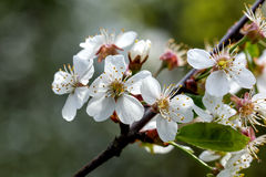 Cherry flowers. Stock Photos