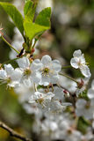 Cherry flowers. Stock Photography