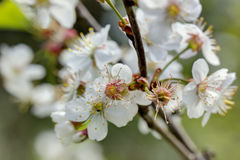 Cherry flowers. Royalty Free Stock Photo