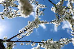 Cherry flowers on blue sky background Royalty Free Stock Images