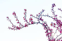 Cherry flowers branch. Cherry blossom branch on white background Royalty Free Stock Image