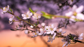 Cherry flowers on a branch in dusk light Stock Photos