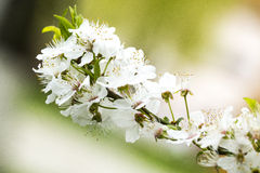 Cherry flowers branch stock images