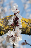 Cherry Flowers - branche d'un arbre bloosoming de chery Photos libres de droits