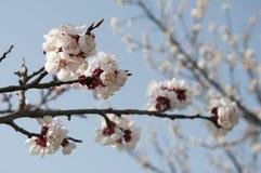 Cherry Flowers - branche d'un arbre bloosoming de chery Photos libres de droits