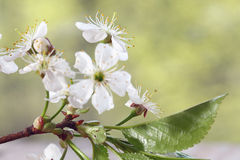 Cherry flowers and branches green background foliage Stock Photo