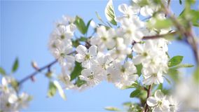 Cherry flowers stock footage