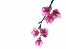 Cherry flowers Royalty Free Stock Images