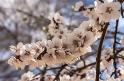 Cherry flowers close up in the early spring Royalty Free Stock Photos
