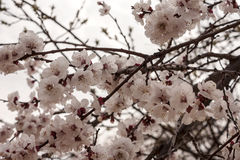Cherry flowers close up in the early spring Stock Images