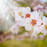 Cherry flowers closeup Stock Image