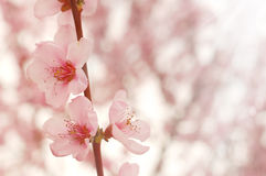 Cherry flowers closeup Royalty Free Stock Image