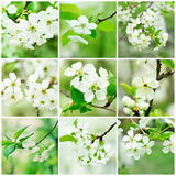 Cherry flowers collection Stock Photos