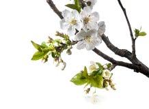 Cherry Flowers in de Lente over Witte Achtergrond Royalty-vrije Stock Afbeeldingen