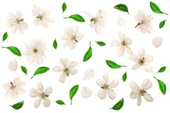 Cherry flowers decorated with green leaves isolated on white background. Top view. Flat lay. Set or collection.  royalty free stock photo